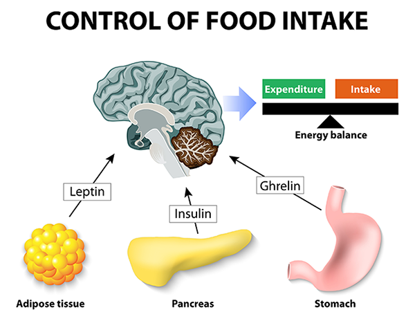 гормоны влияющие на аппетит