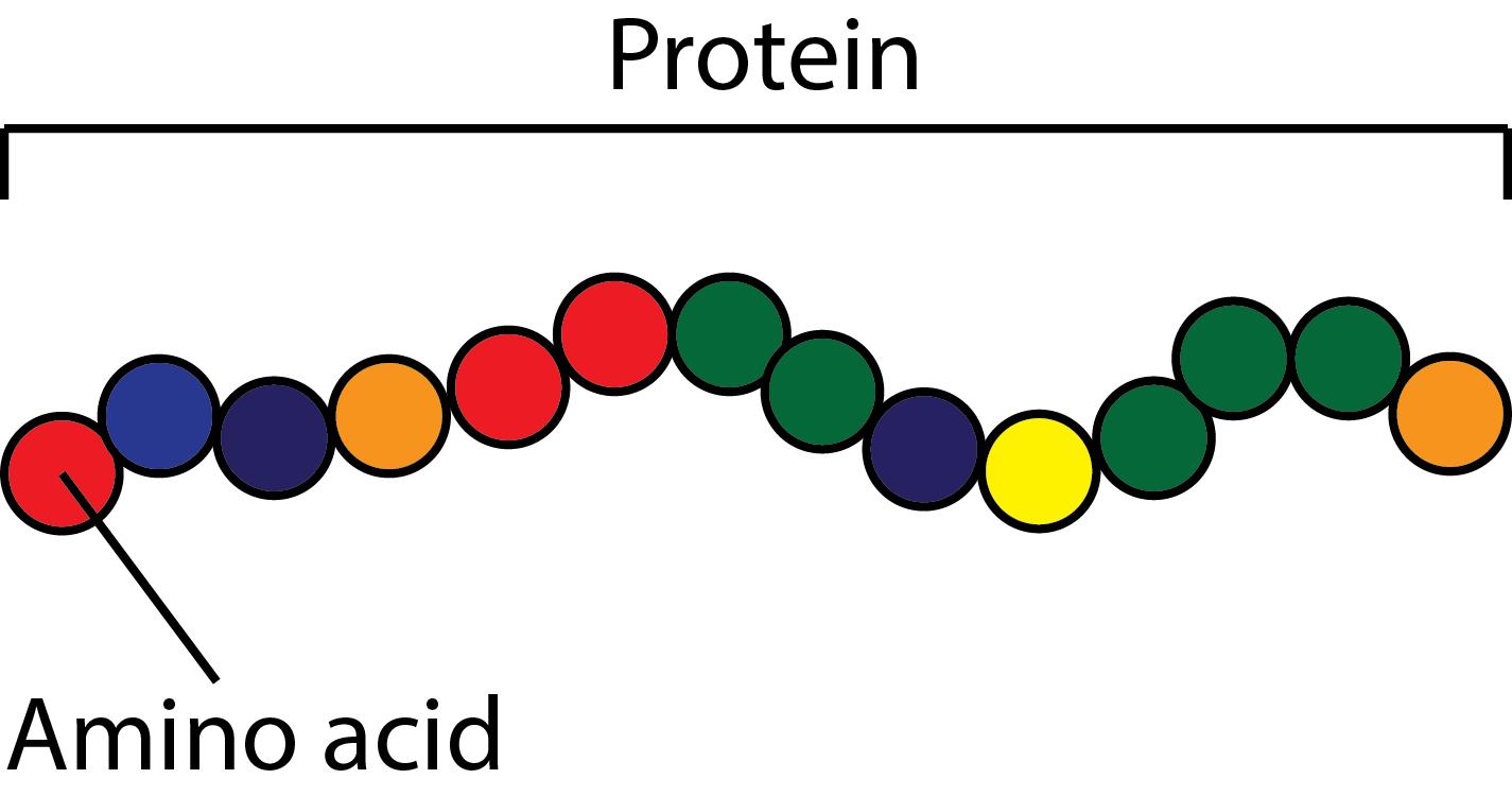 белок и аминокислоты