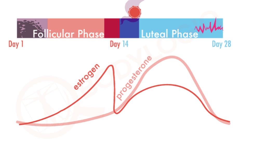 цикл и гормоны